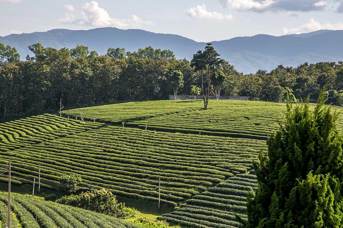 visit tea fields thailand